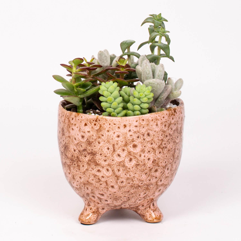 Plante suculente in vas cearamic
