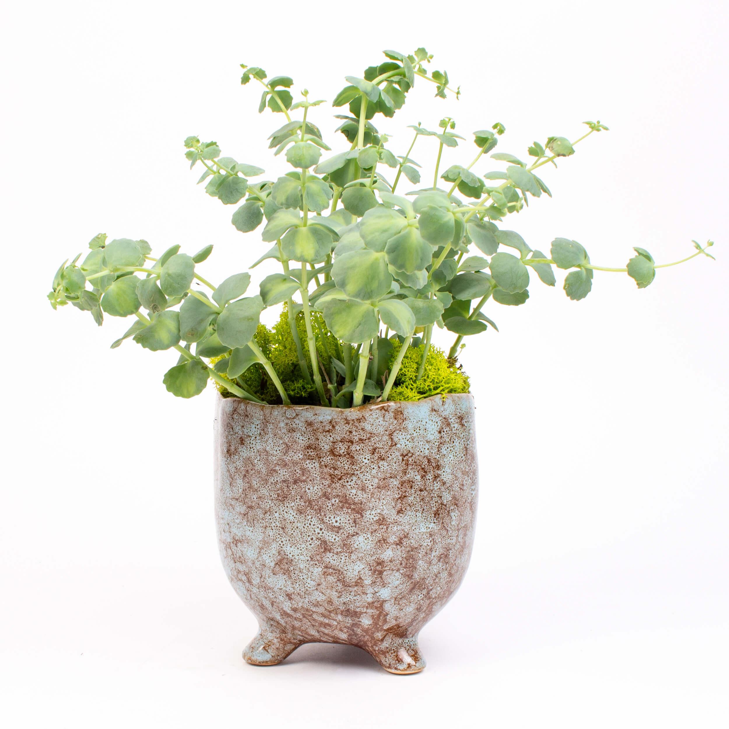 Sedum sieboldii variegatum in vas ceramic