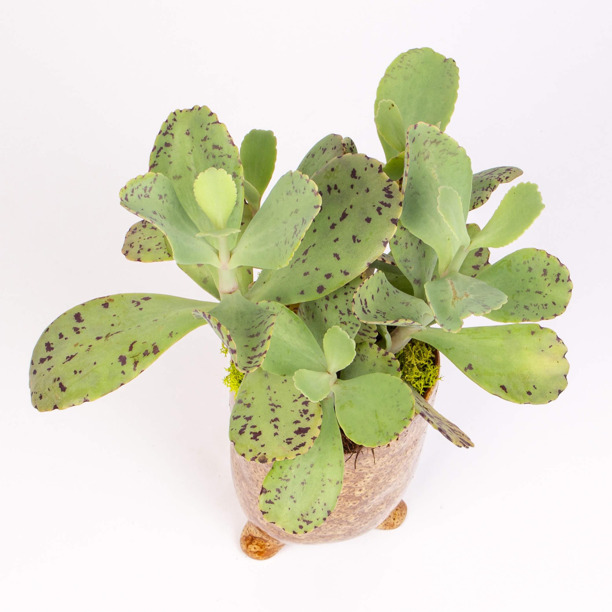 Kalanchoe marmorata in vas ceramic inalt