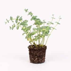 Planta sedum sieboldii variegatum