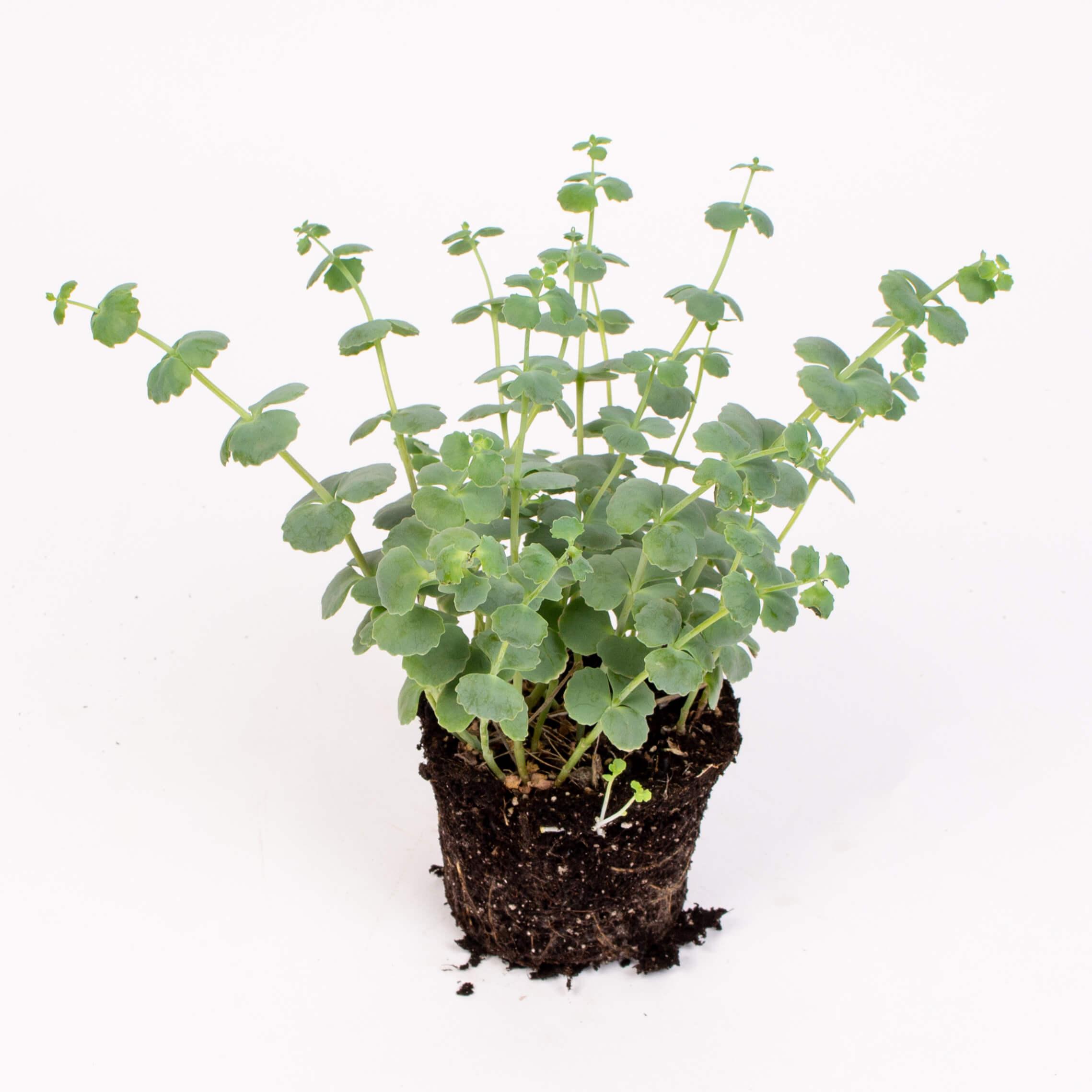Planta sedum sieboldii