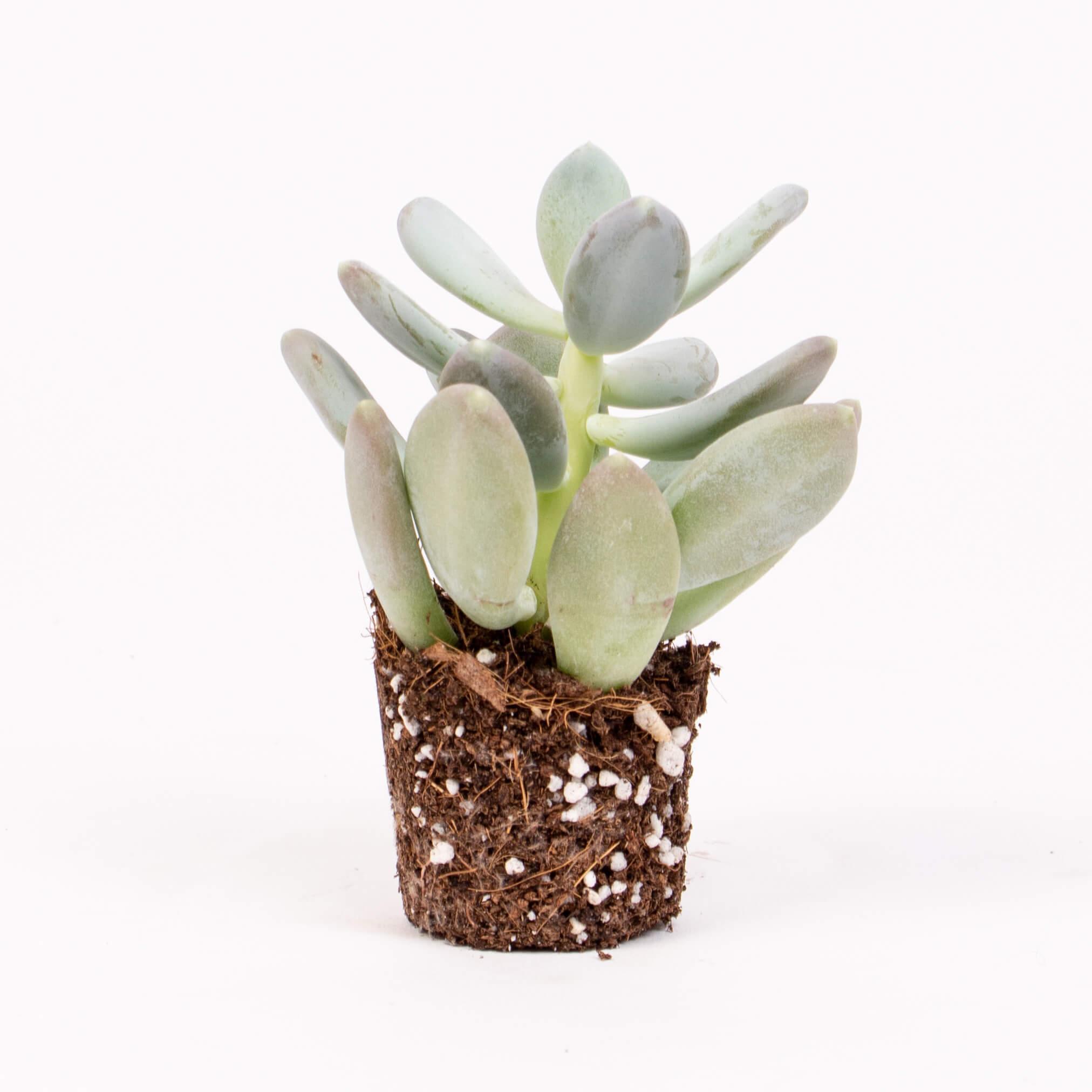 Planta phacitum oviferum