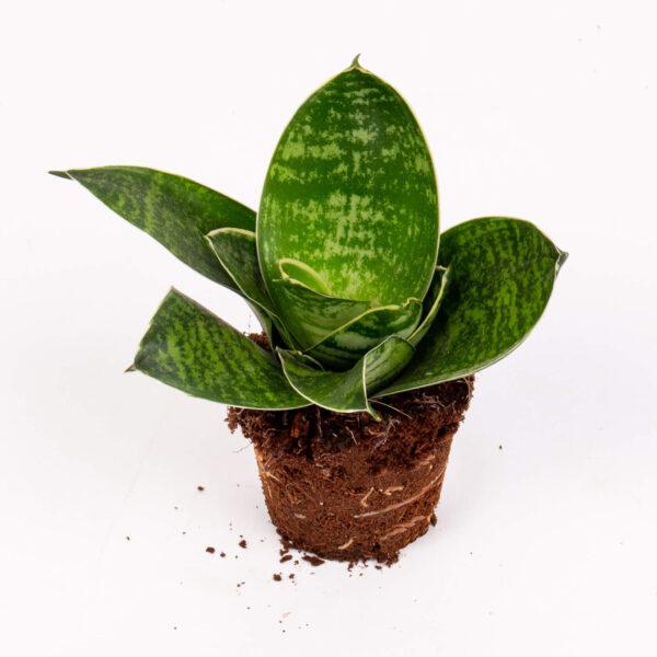 Planta sansevieria