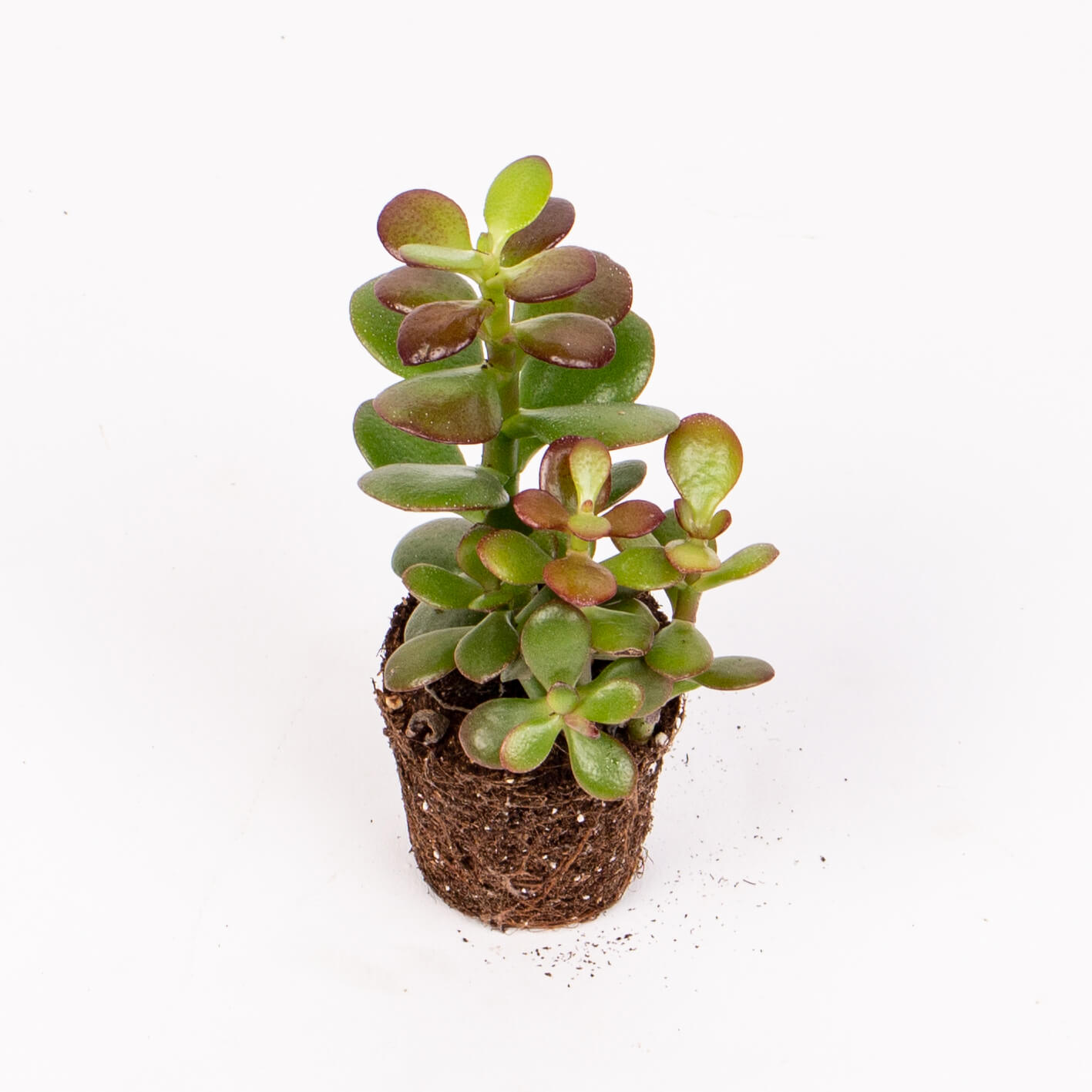 Suculenta crassula minor