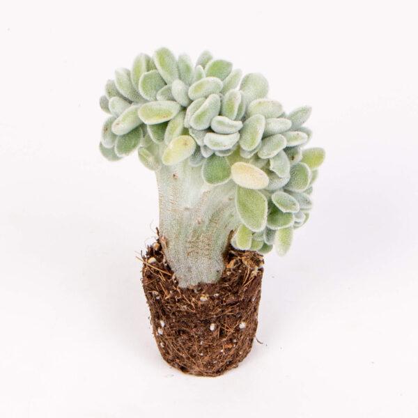 echeveria frosty