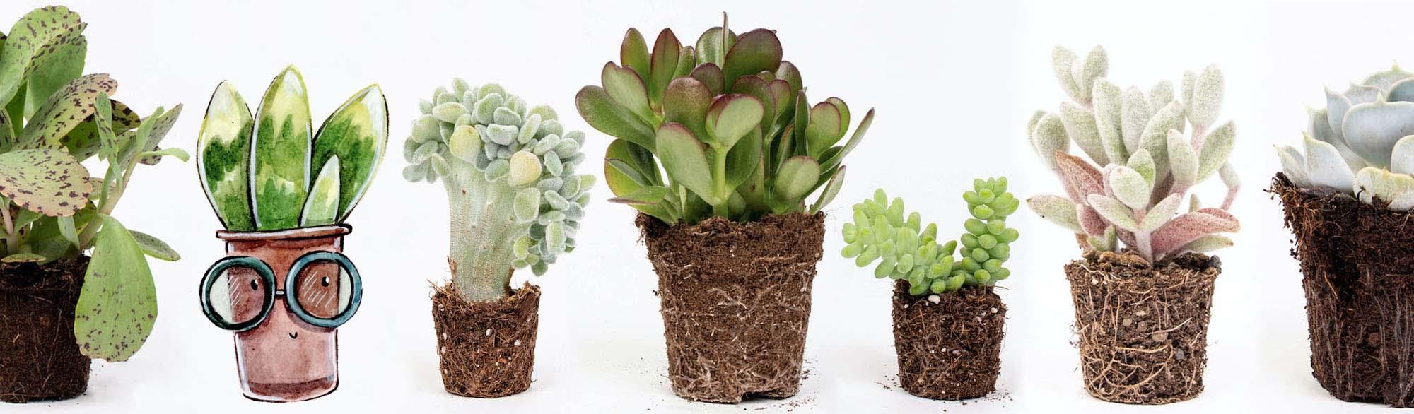 cactusi si suculente pret